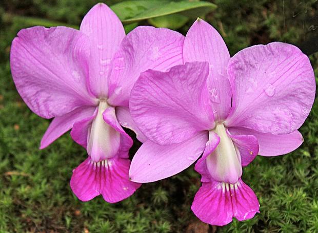 Орхидея пелорик