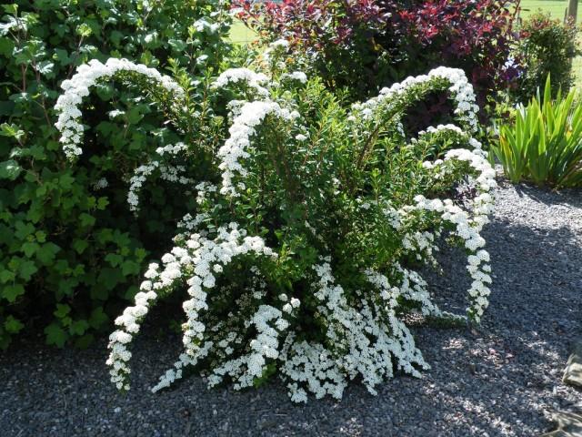 Спирея ниппонская (Spiraea nipponica)