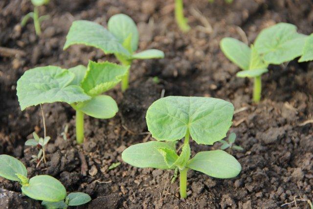 Чем подкормить огурцы в теплице для хорошего роста Сад и огород,Теплицы и парники