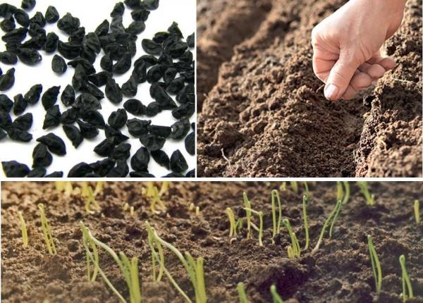 Посев лука «Апрельского»