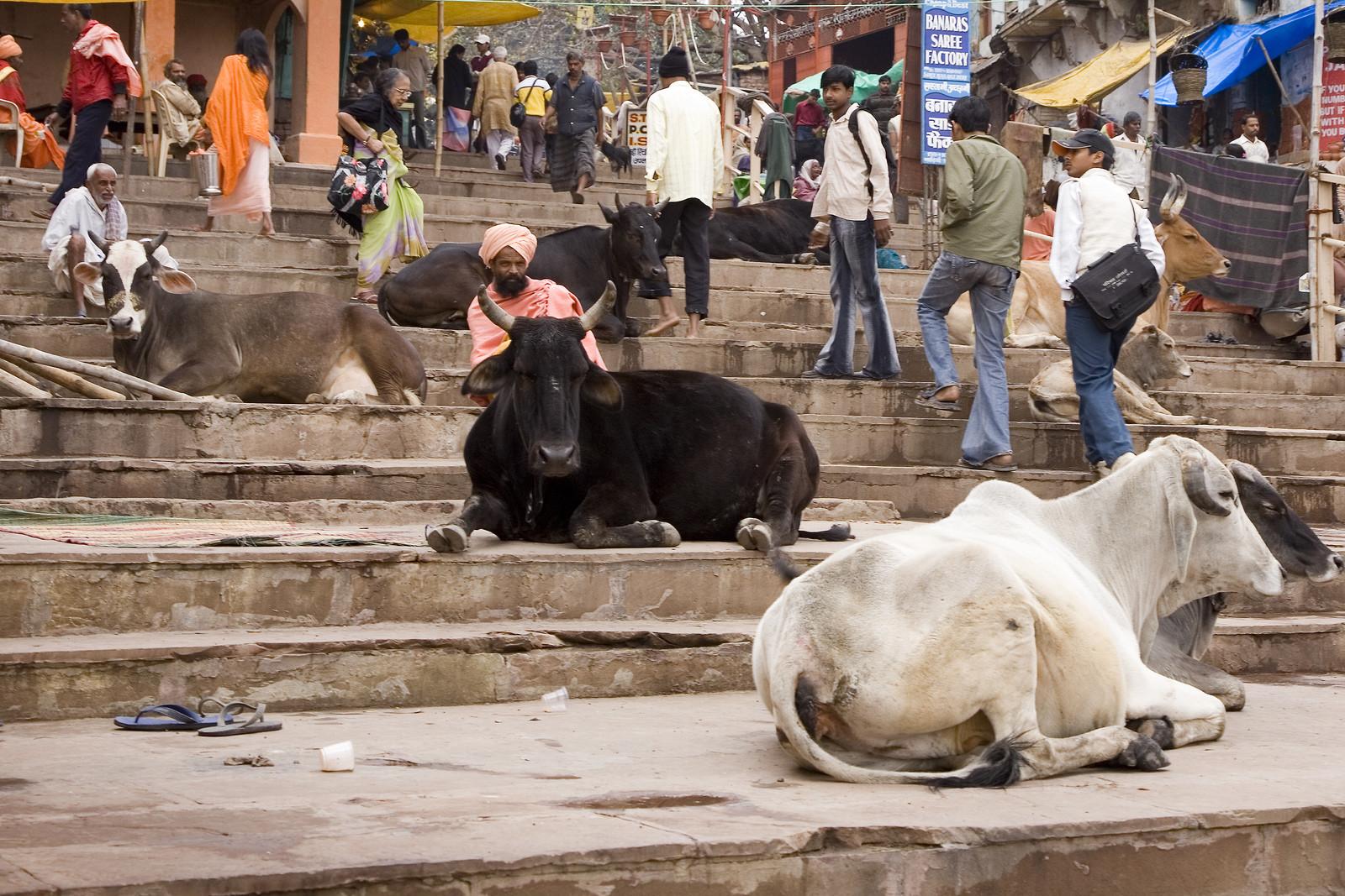 Индийская корова картинка