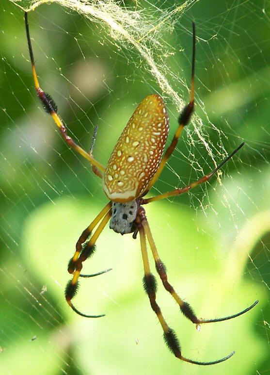 паук шелкопряд фото