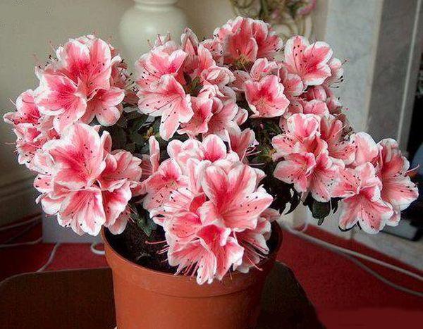 Азалия - красивое комнатное растение