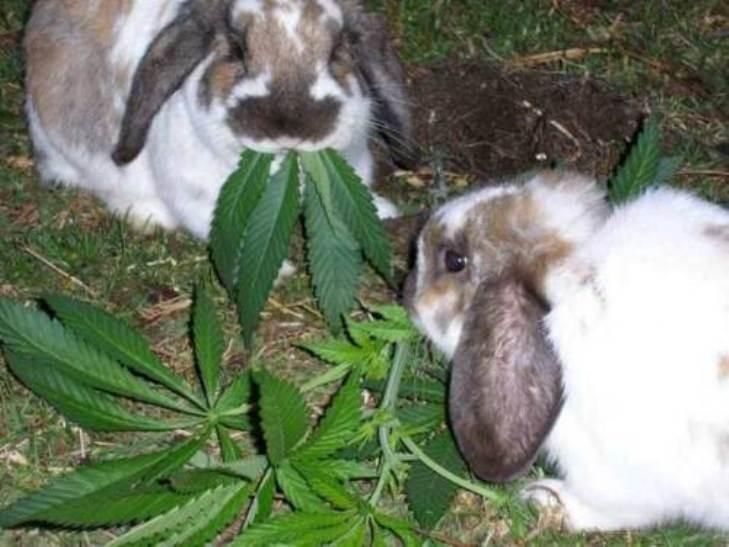 Кролики едят коноплю произрастание конопли на алтае