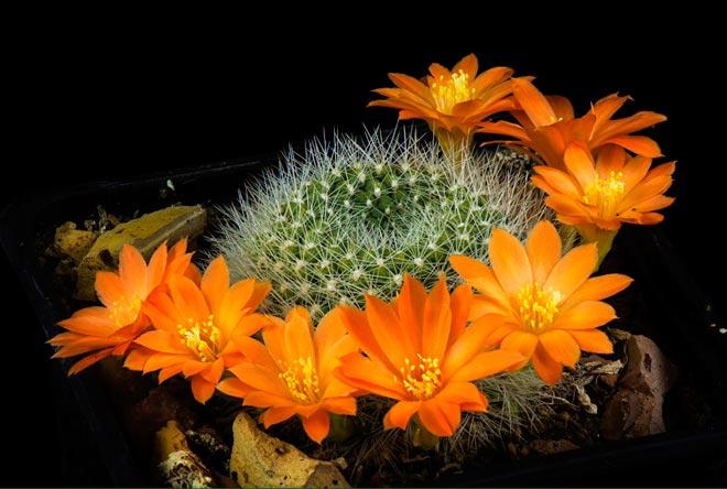 цветение кактуса
