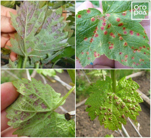Красные пятна на листьях винограда из-за вредителей