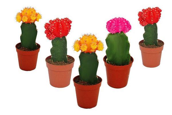этот необычный кактус гимнокалициум