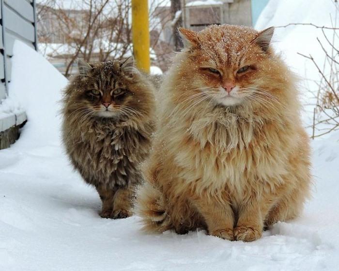 Коты у Аллы Лебедевой живут с 2004 года.