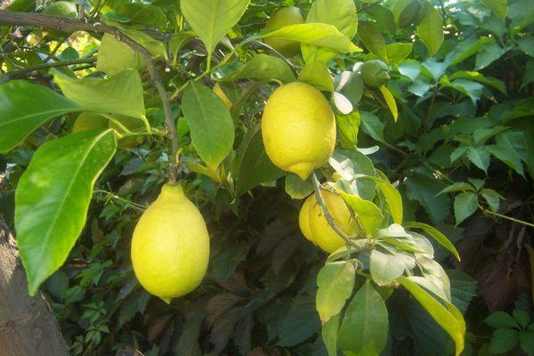 Павловский лимон традиционно размножают семенами