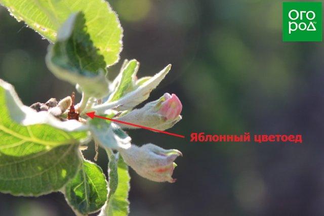 яблонный цветоед