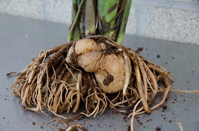 корни замиокулькаса
