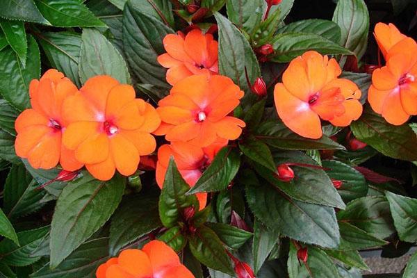 У цветов бальзамина необычная форма лепестков