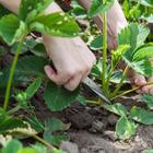 Кто кого съест? 7 растений-агрессоров, молниеносно захватывающих участки