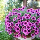 Как правильно прищипывать петунию для обильного цветения