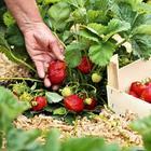 Какую ошибку допускают многие дачники и остаются без хорошего урожая клубники