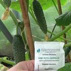 Как готовить раствор борной кислоты для огурцов и опрыскивать культуру