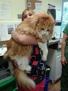 Коты породы мейн-кун, по сравнению с которыми ваша кошка выглядит крошечной