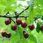 Почему вишня не плодоносит – 7 самых частых причин