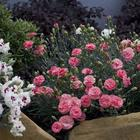 Особенности выращивания садовой многолетней гвоздики, посадка и уход