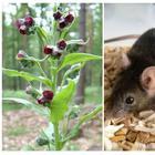 14 растений, которые помогут прогнать мышей с вашего огорода