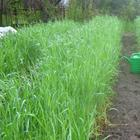 Посев овса как сидерата для улучшения плодородия почвы: когда сеять и скашивать