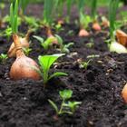 Когда сажать лук весной в открытый грунт