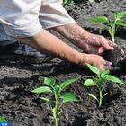 Что класть в лунку при посадке перца: секреты подкормки для хорошего урожая