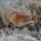 Невозможная дружба: лиса и охотничий пес