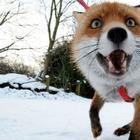 Лисица, которая считает себя хозяйским псом