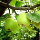Воздушные отводки: размножение яблони без прививок