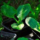 Когда и как лучше сажать кабачки на рассаду, ее посадка в открытый грунт, уход
