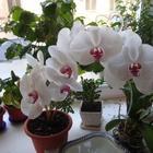 Орхидеи фаленопсис: правильный уход и выращивание
