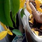 У фикуса Бенджамина осыпаются листья — что делать