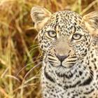 Африканские леопарды. Два года съёмок – два года дружбы