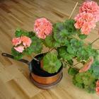 Чем подкормить герань для обильного цветения