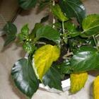 Что делать когда желтеют и опадают листья у гибискуса
