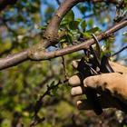 Обрезка вишни и черешни осенью – советы для начинающих