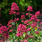 Кентрантус или шпророцветник – красивое цветущее многолетнее растение