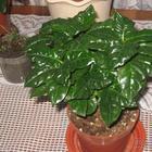 Кофе арабика: выращивание и уход в домашних условиях