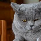 Кот Тимоша решил не пускать хозяйку на работу. Смешное видео с домашним питомцем