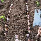 Что можно посадить на грядке после уборки озимого чеснока