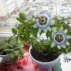 Тонкости посадки голубой пассифлоры — уход за цветком