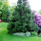 Хвойные деревья в саду – о чем нужно помнить при посадке и выращивании