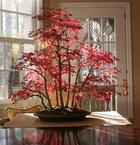 15 невероятных деревьев бонсай которые вас просто очаруют