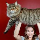 16 мейн-кунов, в сравнении с которыми ваш котик будет смотреться крошечным
