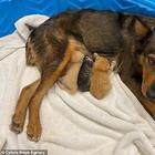 Эта собака стала приёмной мамой осиротевшим котятам