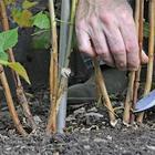 Правила обрезки ремонтантной малины весной или осенью для начинающих