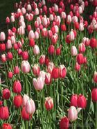 Фестиваль тюльпанов опять пришел в Питер