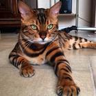 Пушистое чудо: 29 фотографий невероятно красивых котов со всего мира