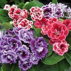Глоксиния – один из красивейших представителей домашних цветов